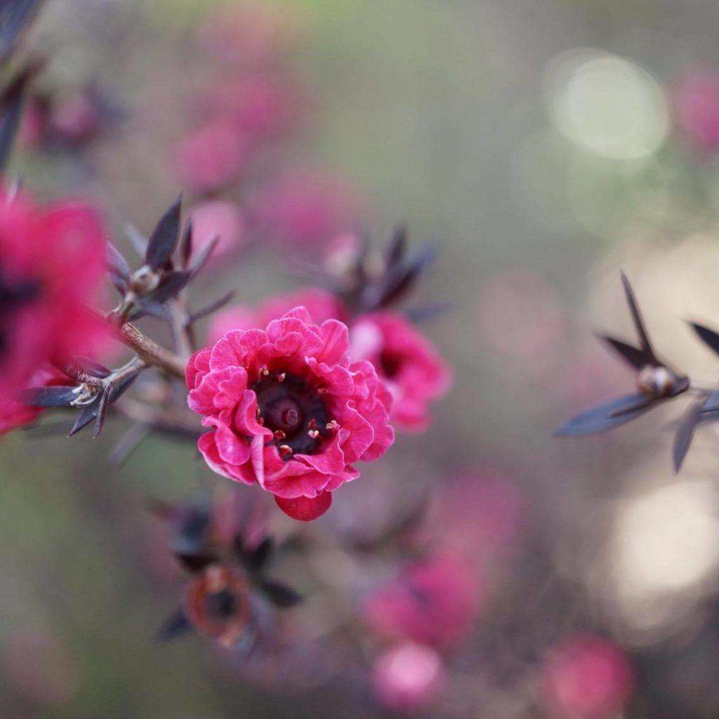 季節の花|ギョリュウバイ