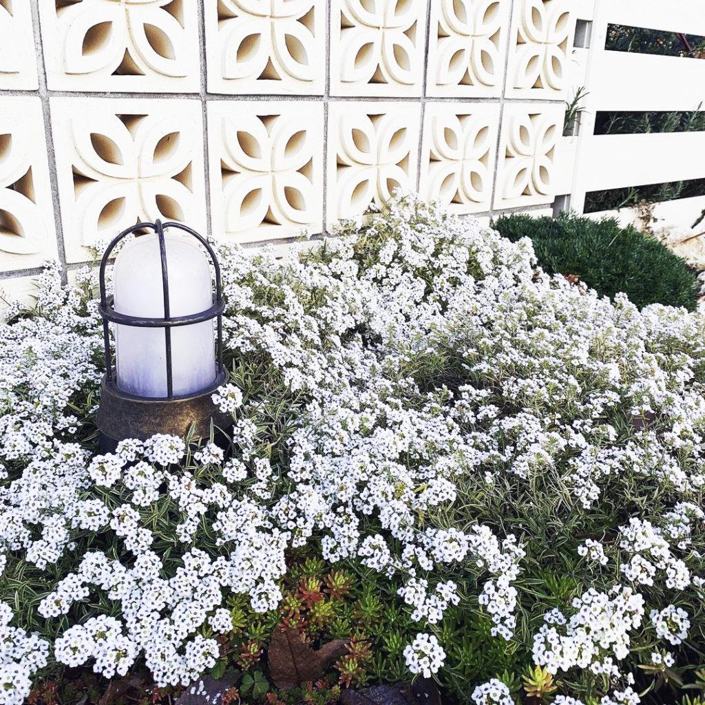 沖縄生まれの花 スイートアリッサム